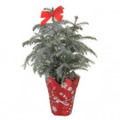 6 in. Glitter Living Pine Tree with Pot Cover and Bow